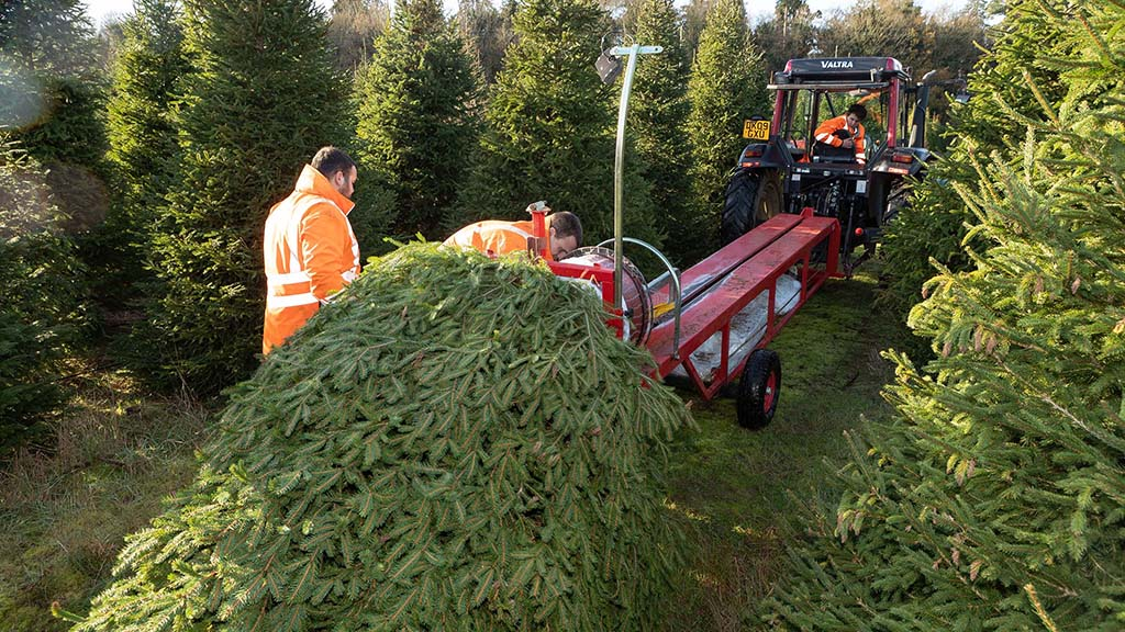 Nordmann fir and Norway spruce varieties are gown at Elveden.