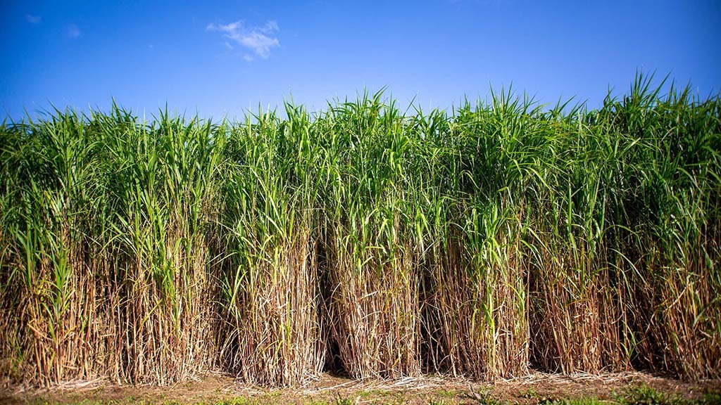 Miscanthus shown to be carbon sink in new study