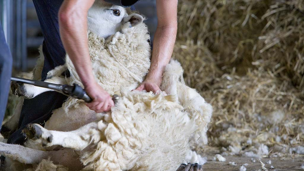 Overseas shearers granted concession to enter the UK