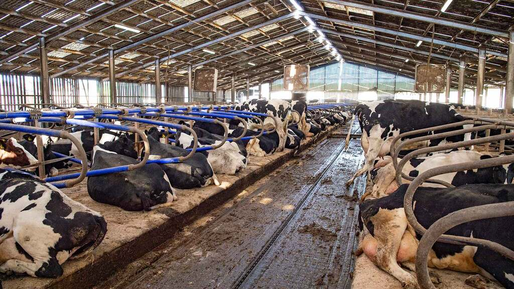 The herd in the original cubicle housing.