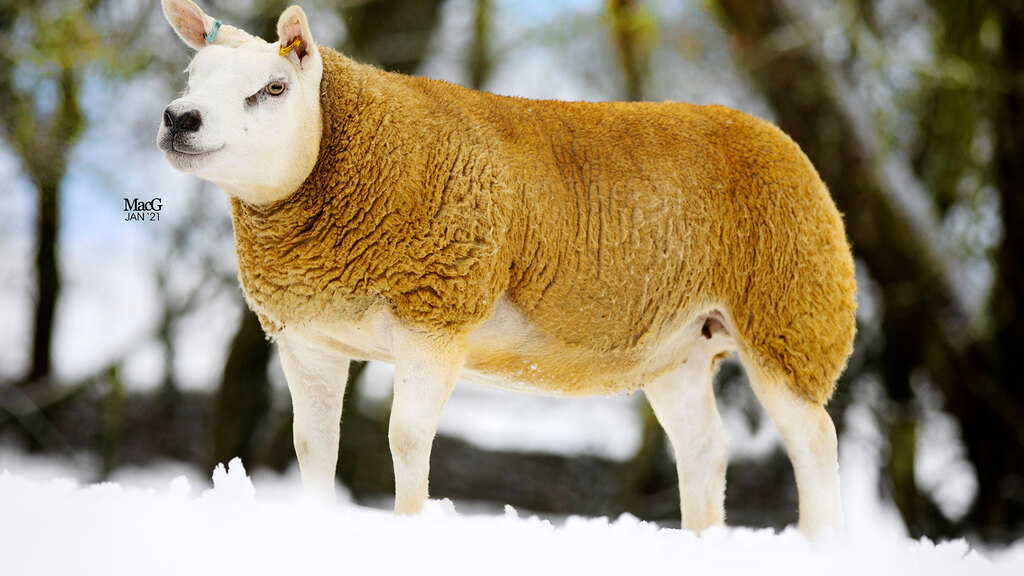 Auldhouseburn flock sets Texel record at Longtown