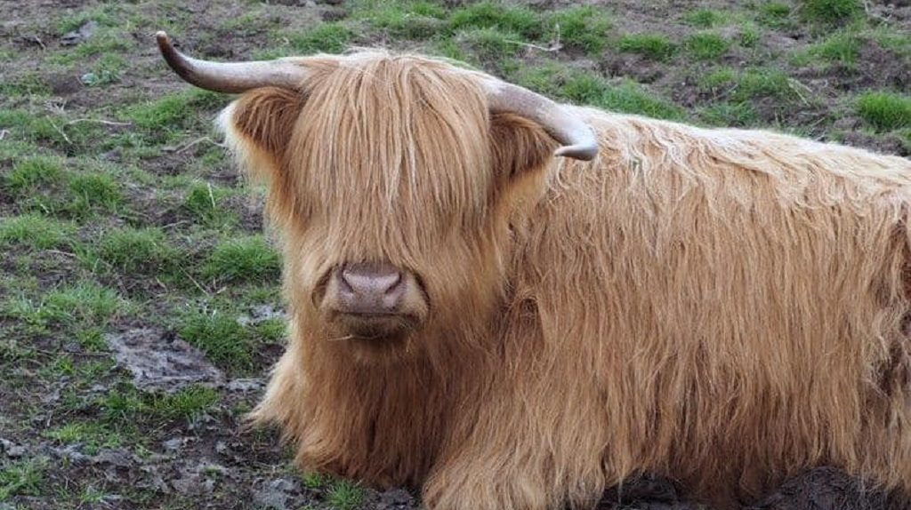Highland cow mauled to death in Rottweiler attack