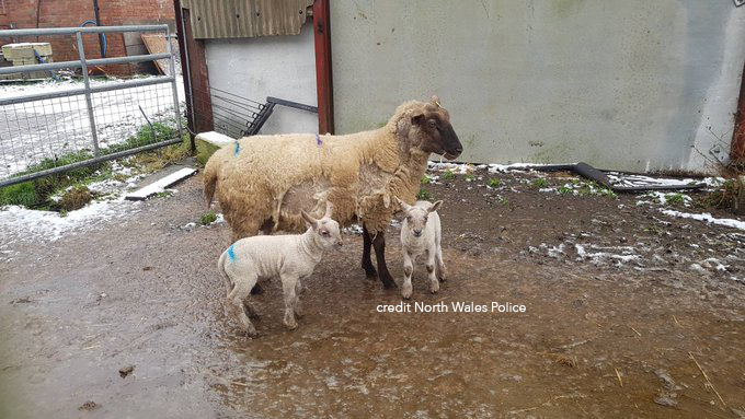 Sheep savaged in dog attack gives birth to lambs