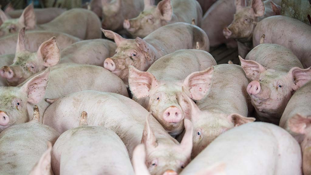 Scottish pig abattoir closes due to Covid-19 outbreak
