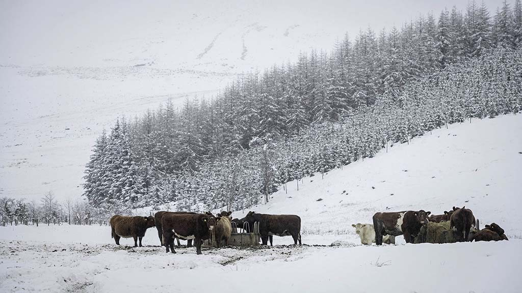 Beef Shorthorns are key to sustainability of hill unit
