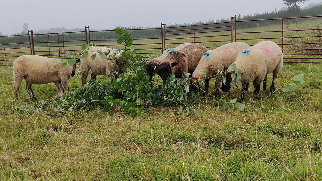 Tree fodder fed to sheep could have emissions cutting role