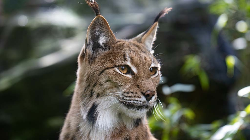 Lynx UK Trust to resubmit application