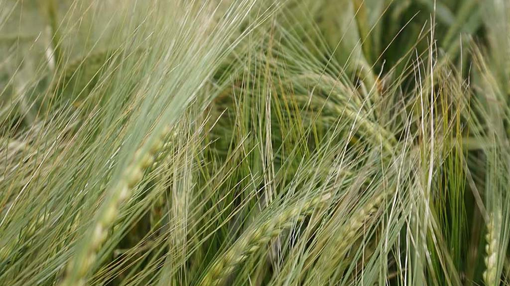 Top tips for getting the most out of spring barley