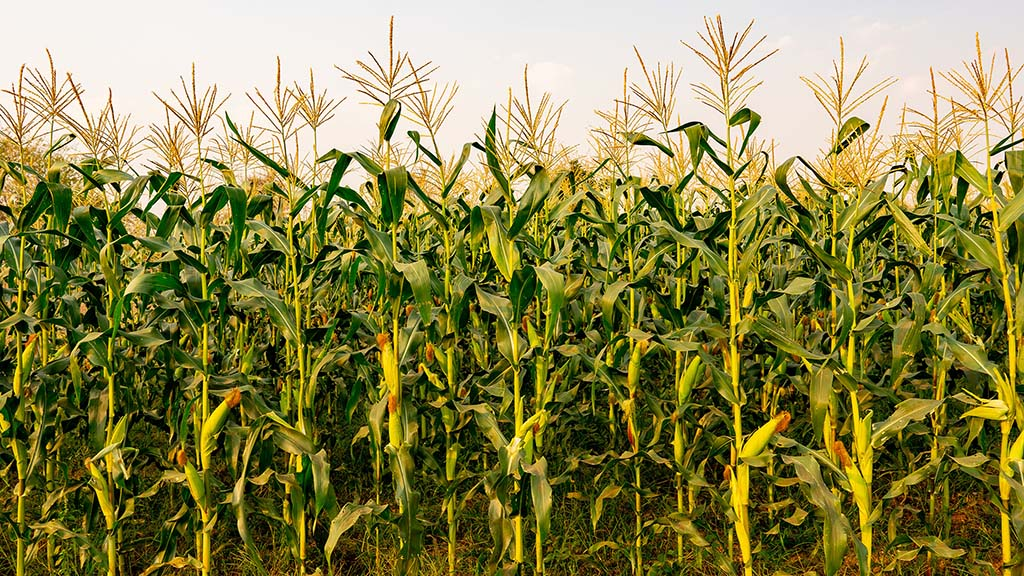 Attention to detail essential for high quality maize silage