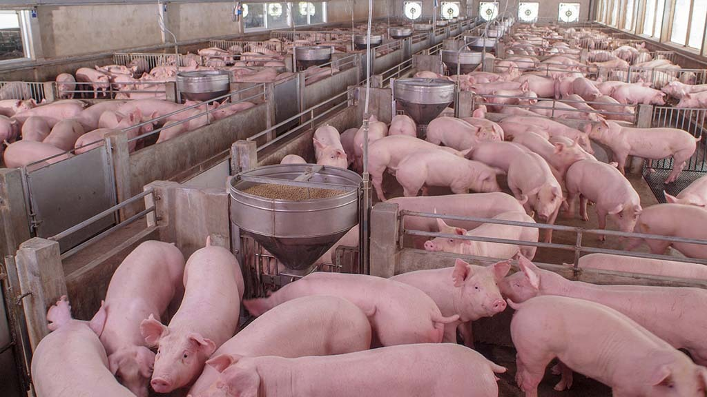 Pig sector in 'critical state'