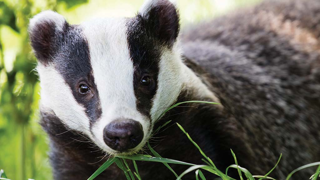 Badger cull reduced bTB by up to 60 per cent