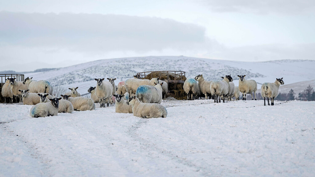 The farm is home to 1,000 Scotch Mules, 270 Mule ewe lambs for replacements, and 30 pure Texel and Suffolk ewes