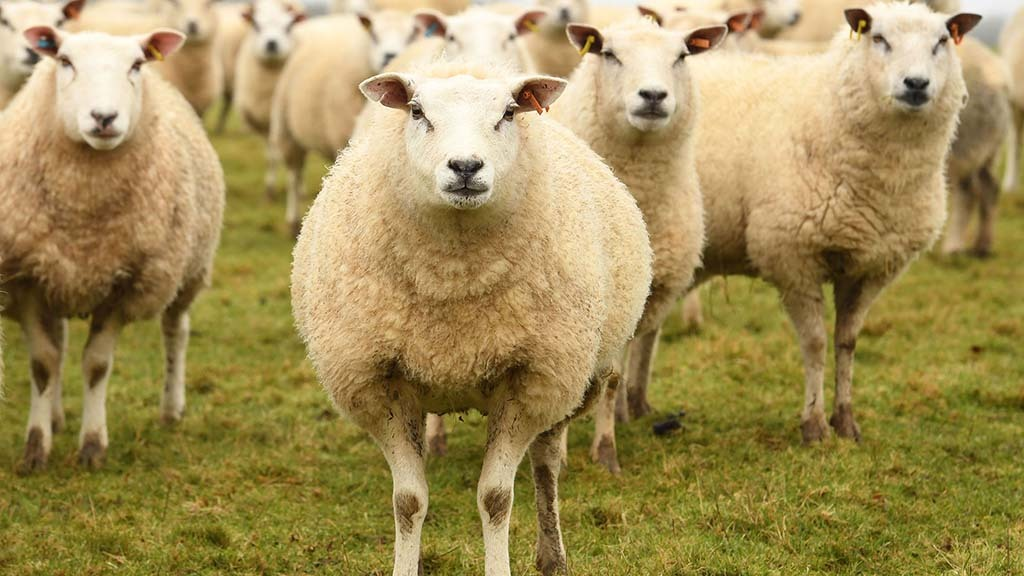 40 New Zealand Highlander lambs are bought in to finish each year.