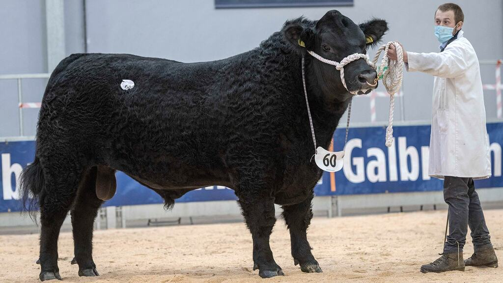 High of 15,000gns for Aberdeen-Angus bulls at Stirling