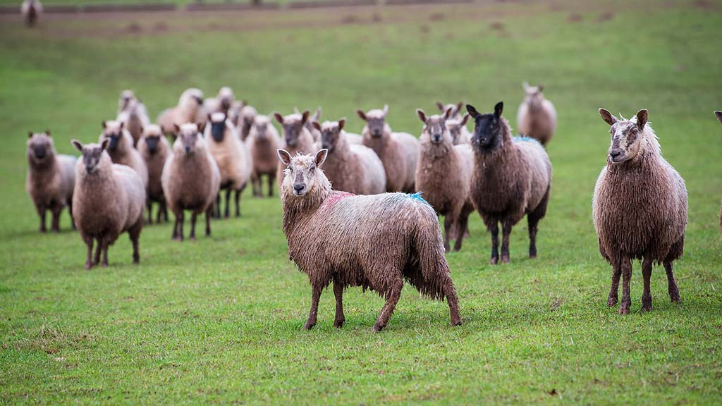 Eighty to 100 of the ewe lambs are retained as replacements each year.