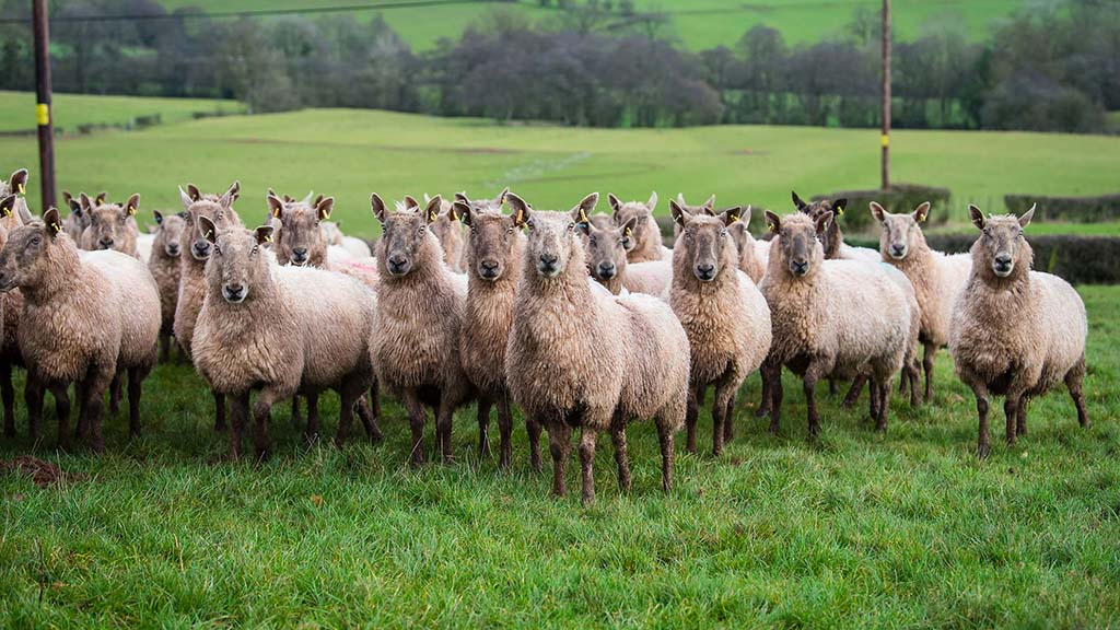 A flock of 200 Clun Forest Mules is run alongside the pedigree flock.