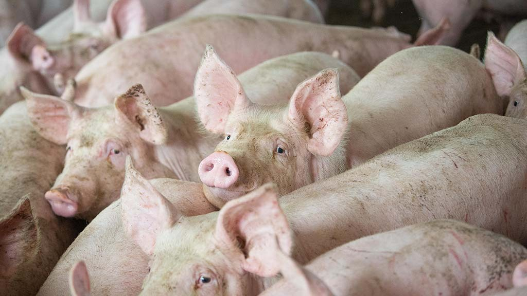 Pig sector losses could push industry into collapse
