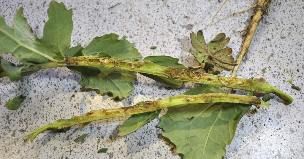 Damage from larvae can be just as bad as that from adult CSFB, says Dr Sacha White.