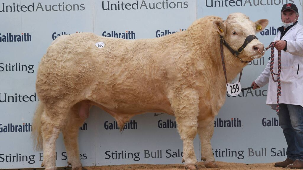 Ballinlare herd leads Stirling Charolais trade at 16,000gns
