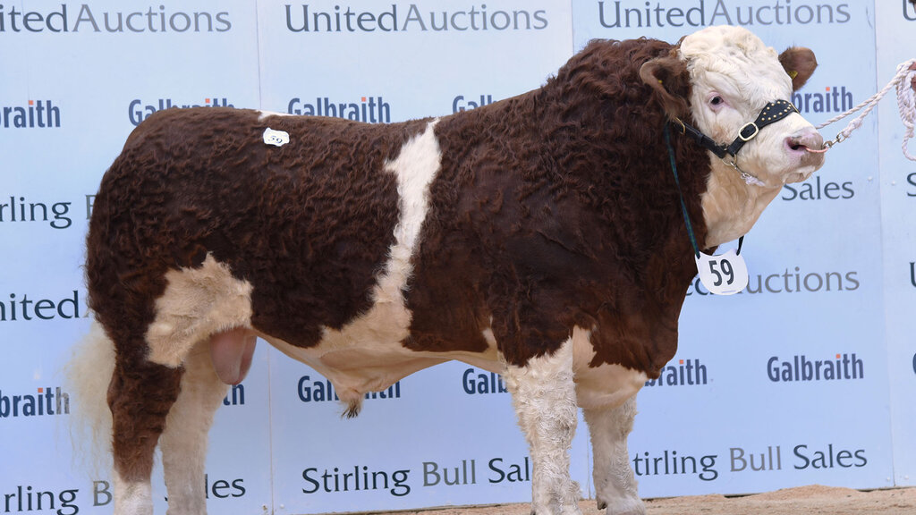 Simmental bulls sell to 26,000gns and set new breed record average at Stirling