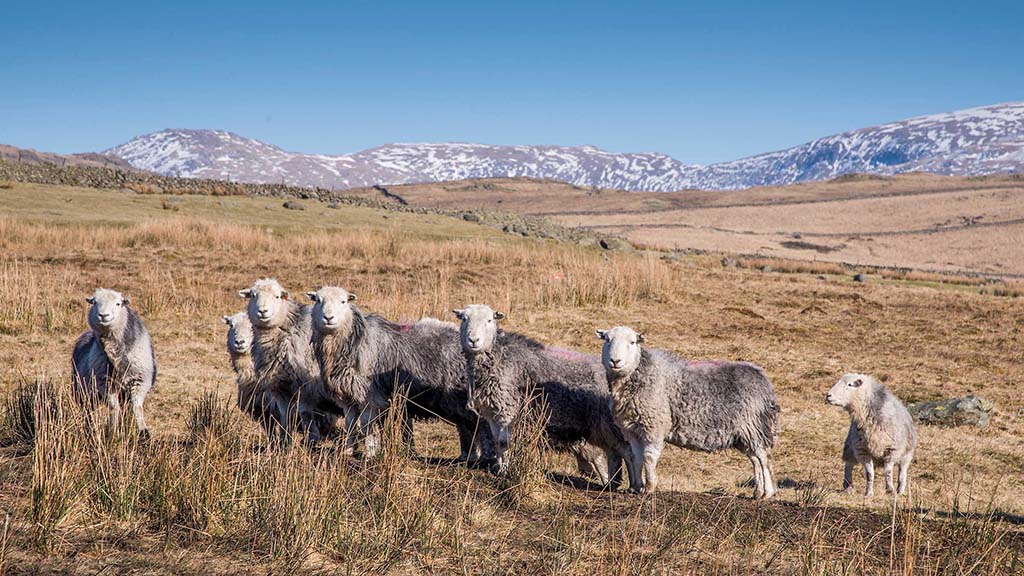 Foot-and-mouth 20 Years On: Sheep breeds battle for survival