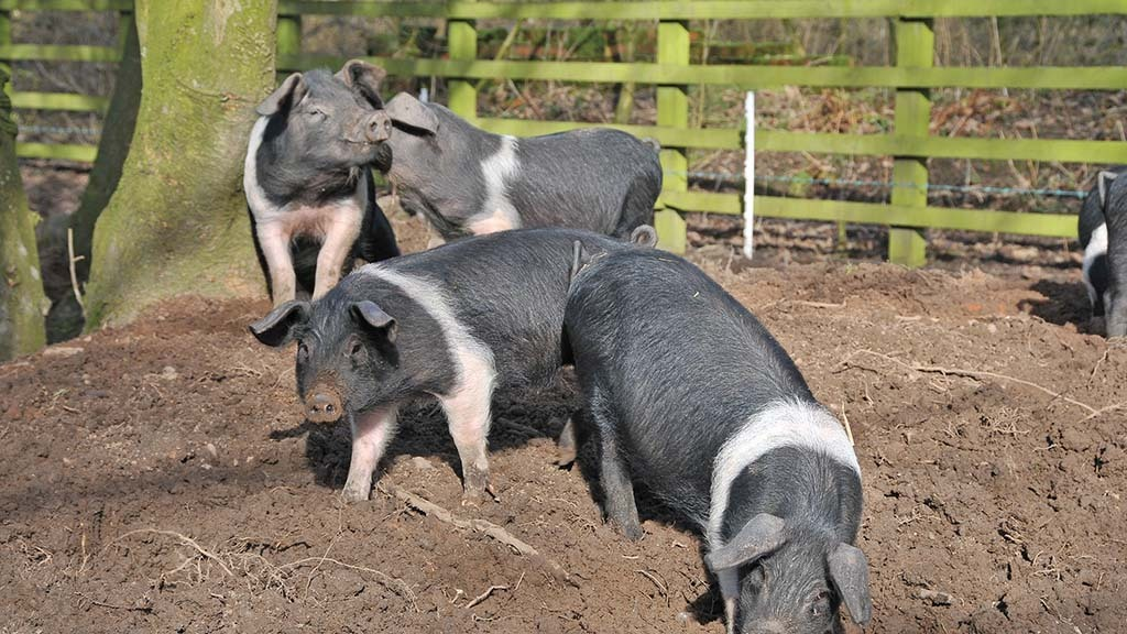 SMALLHOLDER SPECIAL: What do you need to know as a new pig keeper?