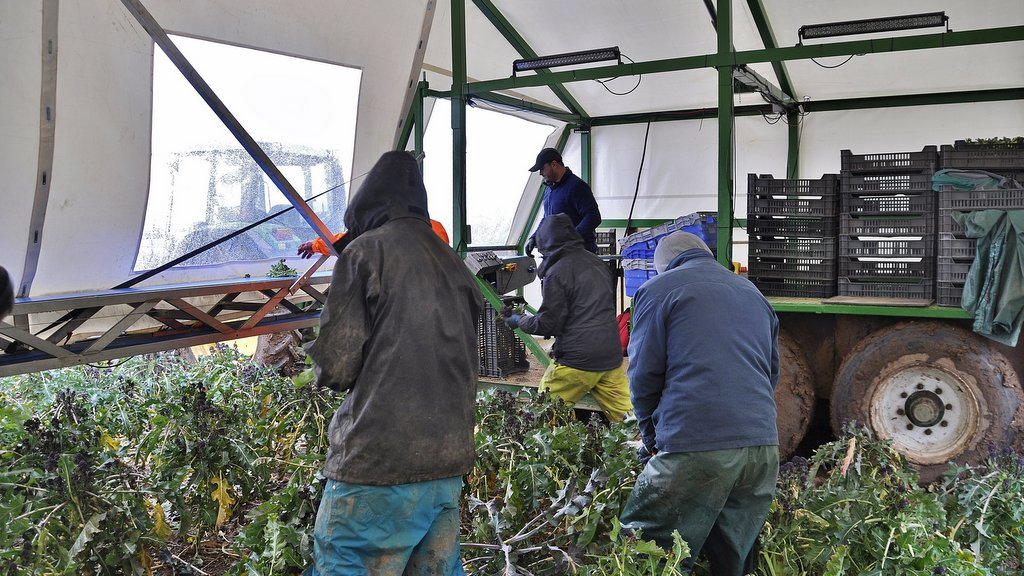 Pickers harvesting the crop are protected from the weather by a fold-out canopy which extends from the packing trailer. The folding mechanism (below) was designed and fabricated by Tom Beach.