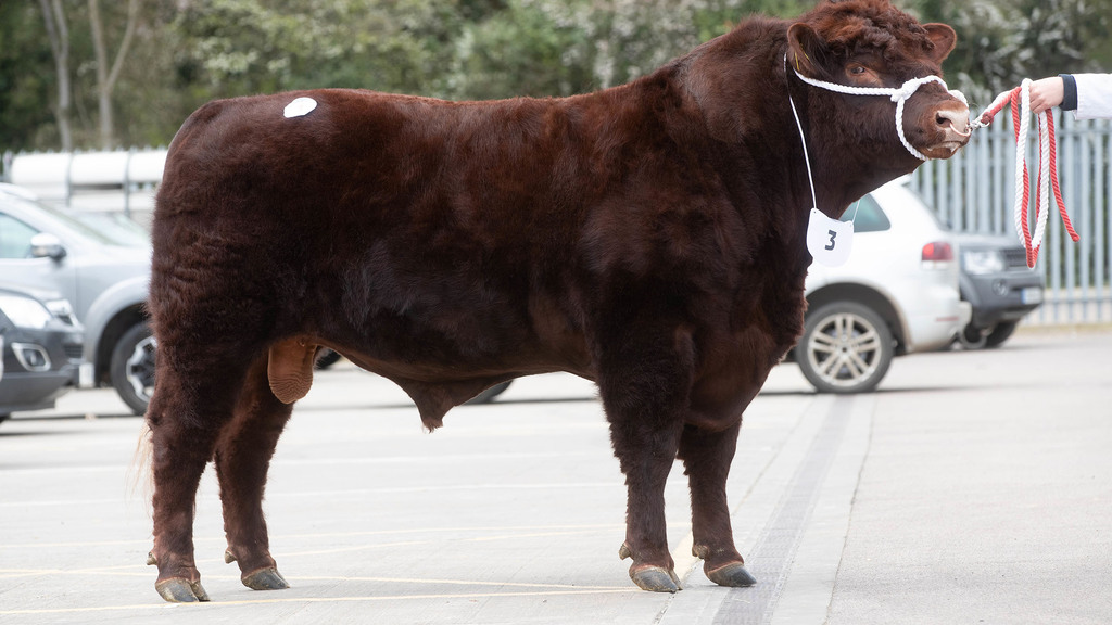 Lincoln Red bulls sell to 8,000gns at Melton Mowbray