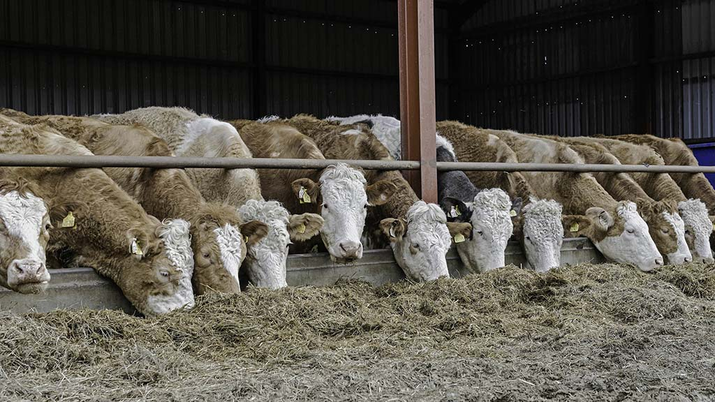 Older Simmental cross calves will be consigned for sale at Thainstone.