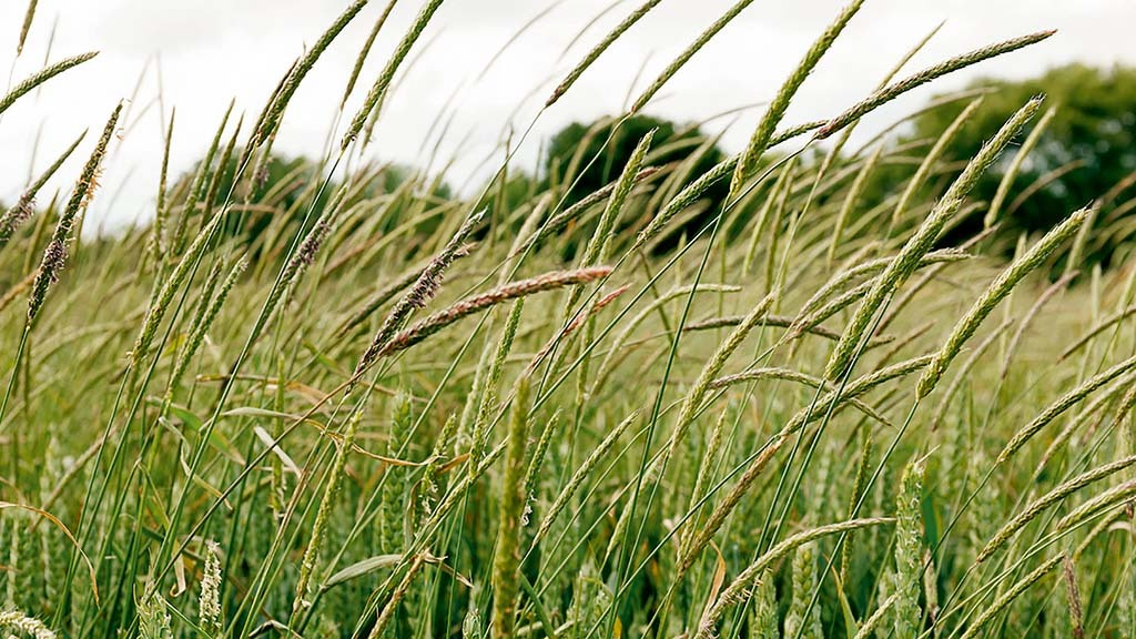 How to control resistant black-grass