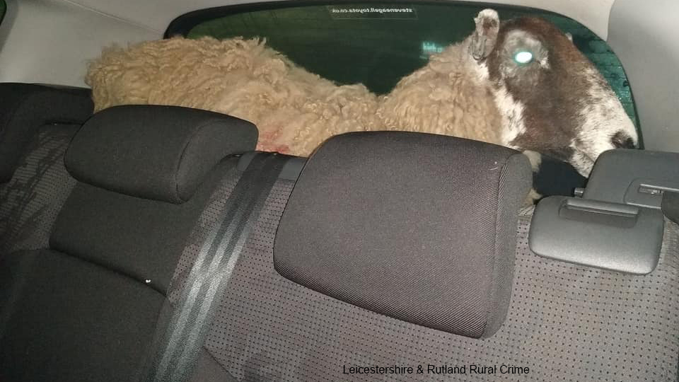 Police hunt down owner of sheep found in car boot