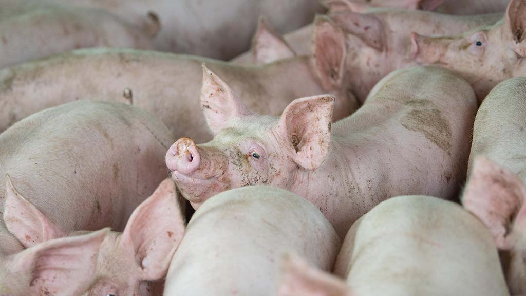 Pig breeder investigated over animal abuse claims