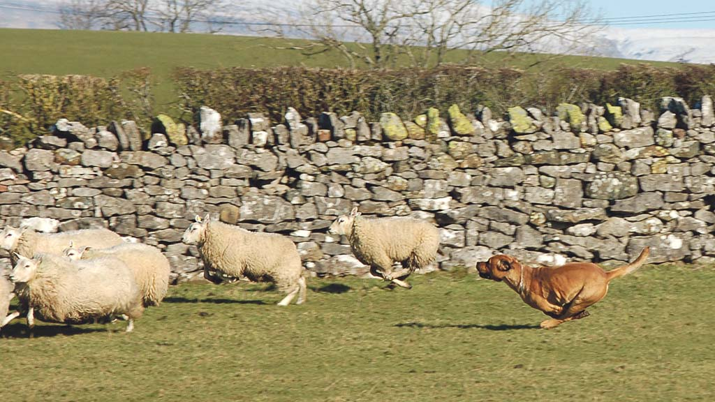 Dog attacks on sheep rise as lockdown sees dog ownership spike