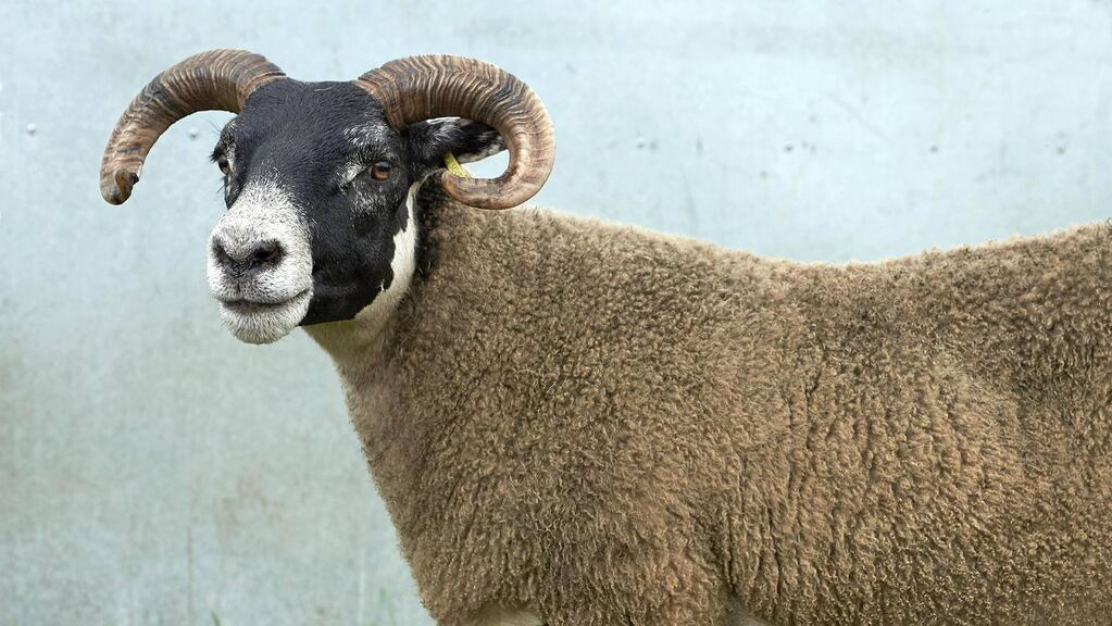 Police investigate theft of 75 sheep from Highlands farm