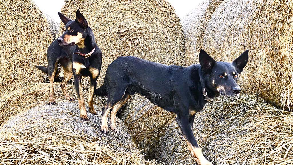 SHEEPDOG SPECIAL: Natural stockmanship of Australian Kelpie sees breed grow in popularity