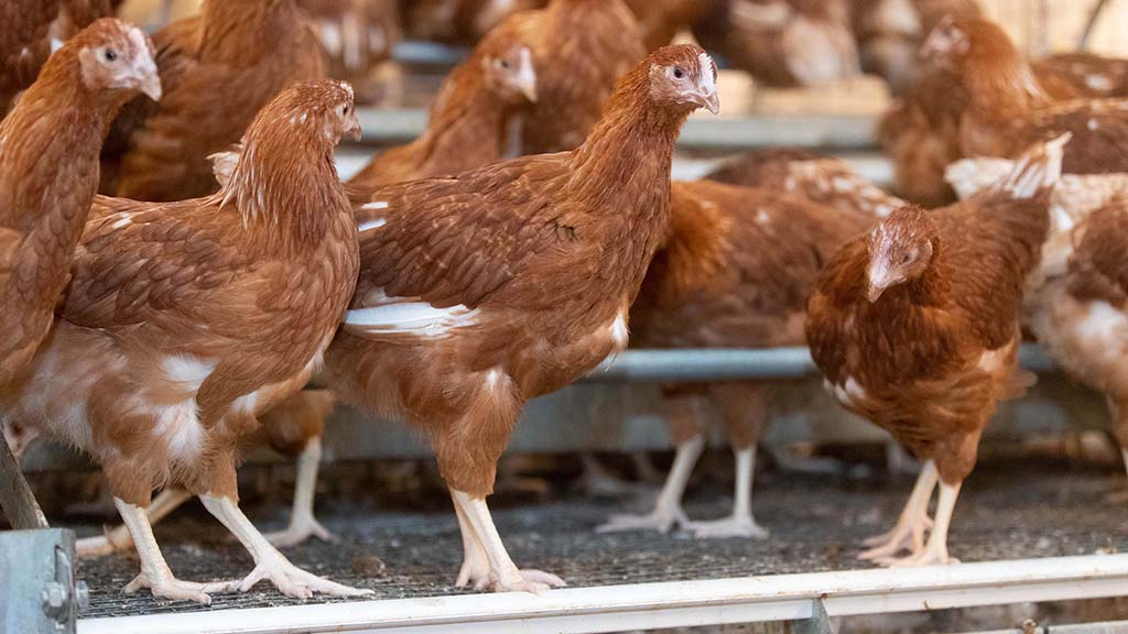 Processed animal protein feed for UK pig and poultry producers 'highly unlikely'