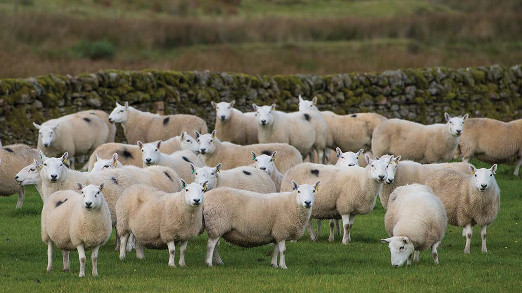 New traceability service for sheep will go live in November