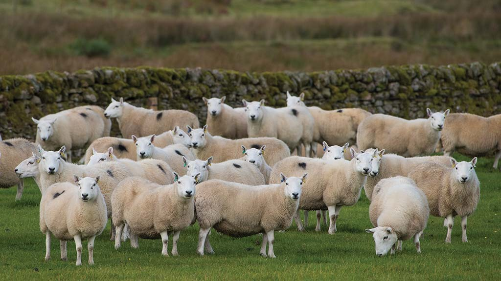 SHEEP SPECIAL: Farmers urged to test for enzootic abortion of ewes