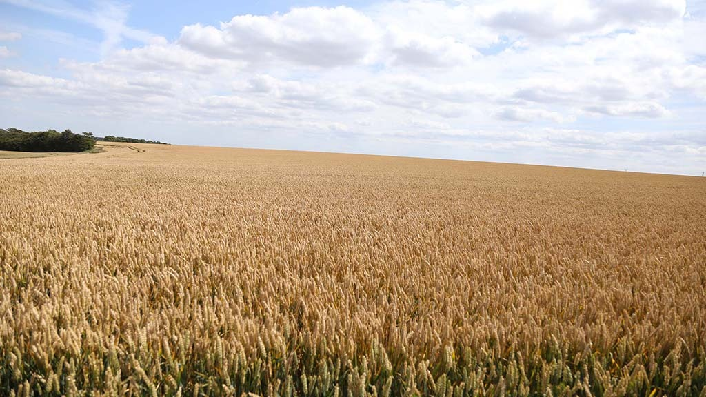 Scientists call for international investment to tackle major wheat losses