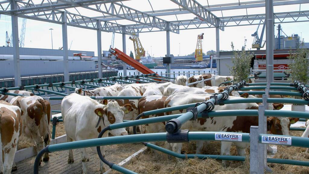 Floating dairy farm receives criticism after cows fall into Rotterdam harbour