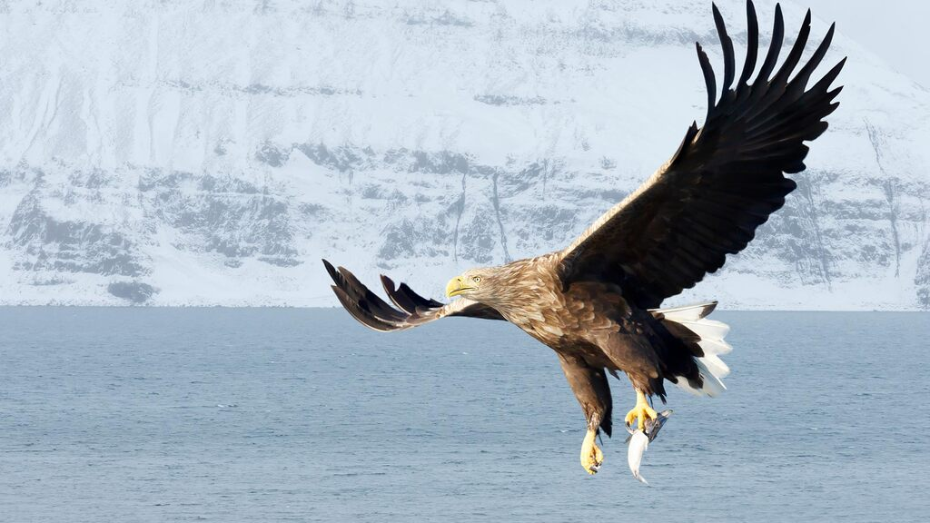 Sheep predation fears as white-tailed eagle release in Norfolk gets go-ahead