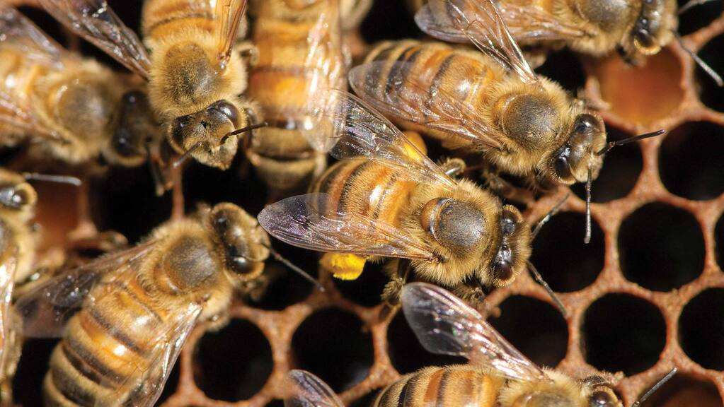 British beekeeping stung by Brexit import rules