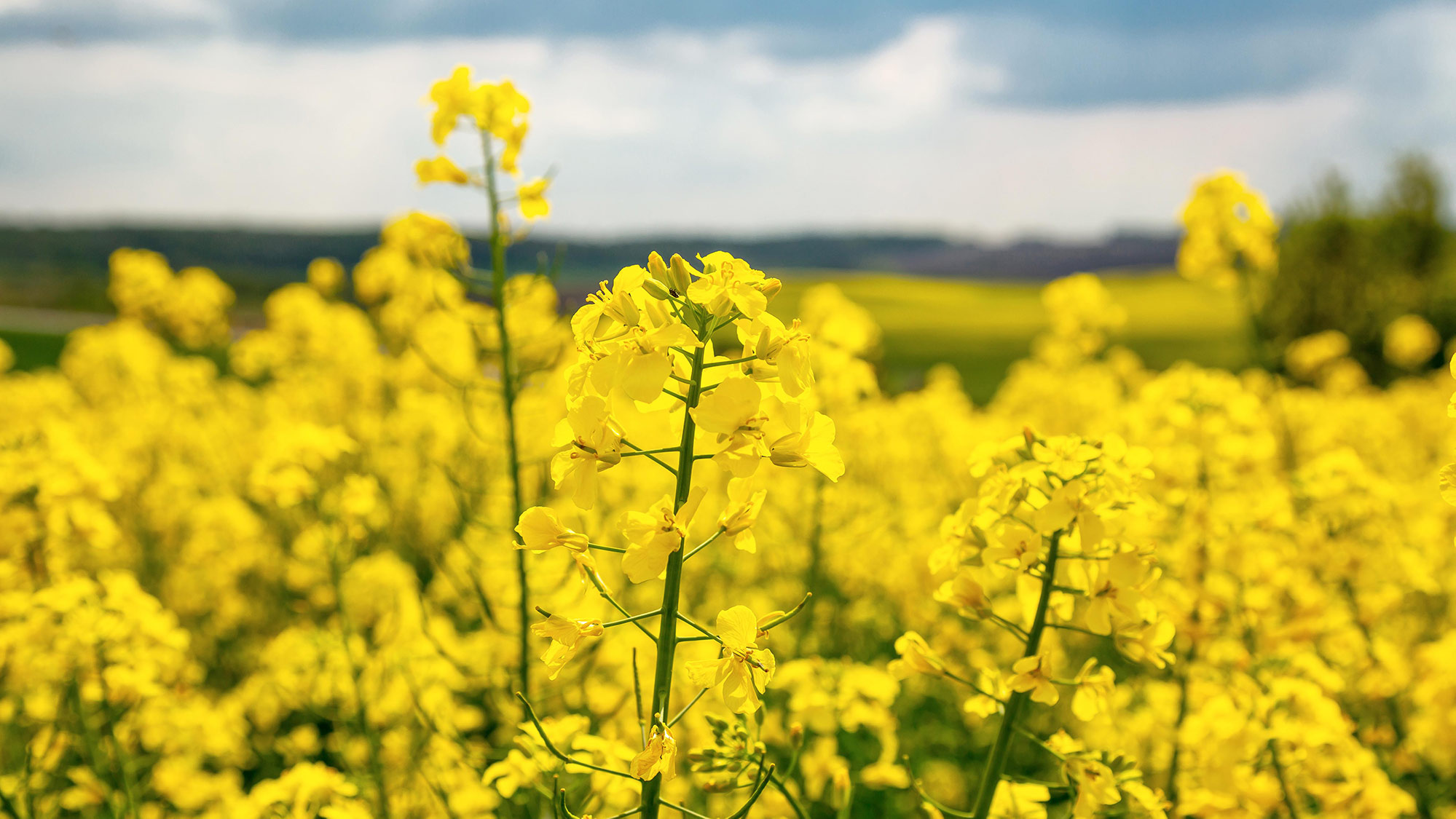 Record world demand supports rapeseed prices