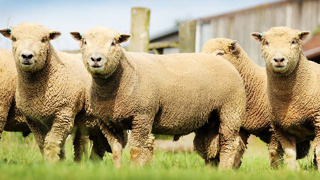 Breed Societies special: Southdown enjoy a resurgence in popularity