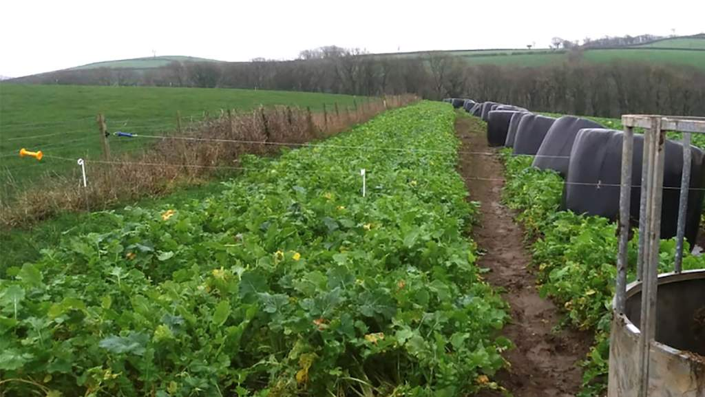 The crop was sown over 9.3 hectares (23 acres) of land, established well and was ready to utilise 12-14 weeks after sowing.