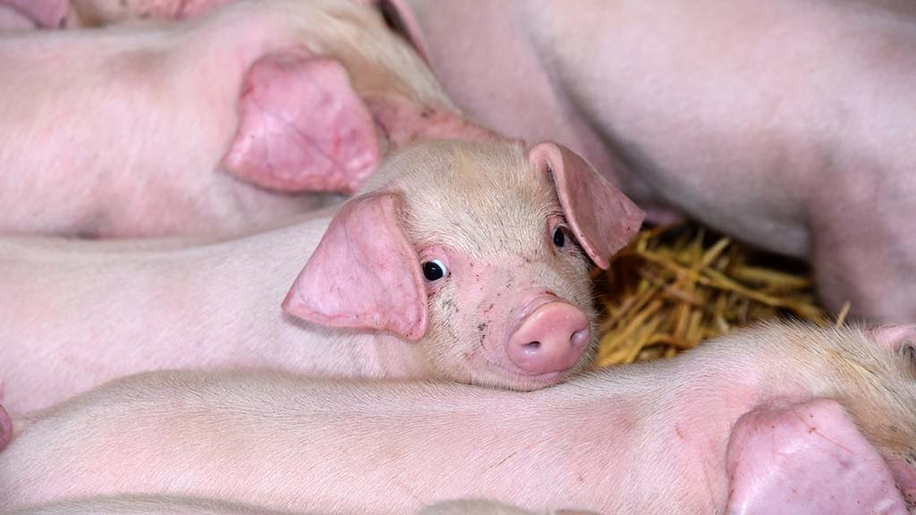 UK Government to test African swine fever contingency plans