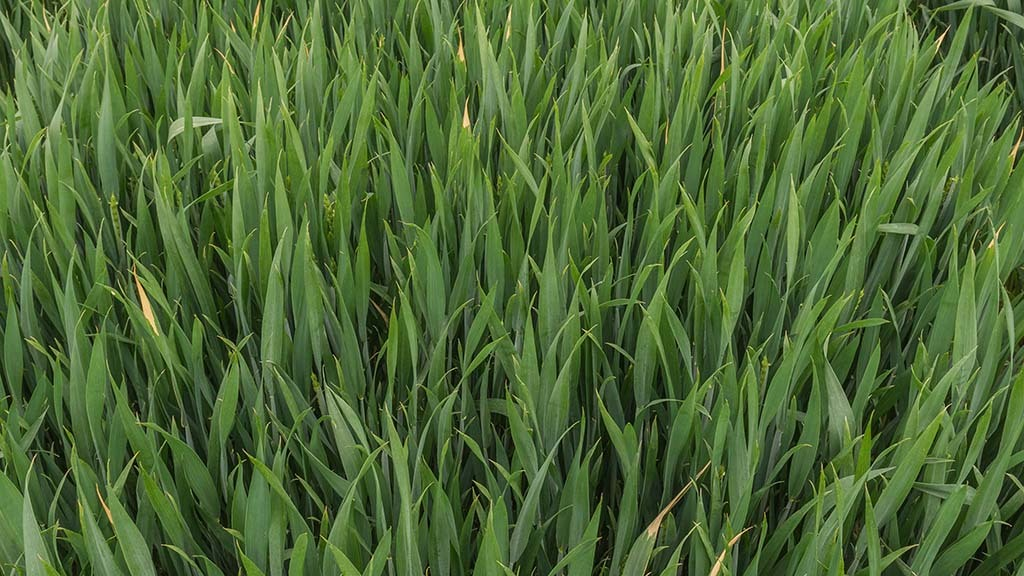 Cereals 2021: Low risk varieties attract attention