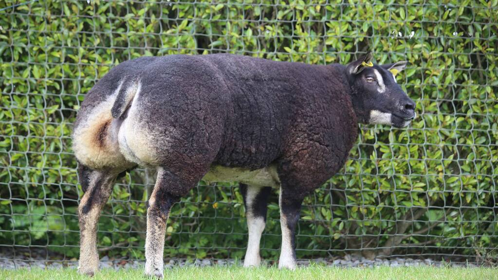 Summer Stunners sell to £5,300 for Badgerface Texel