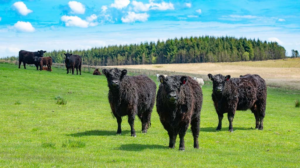 Galloways fit sustainable farming brief