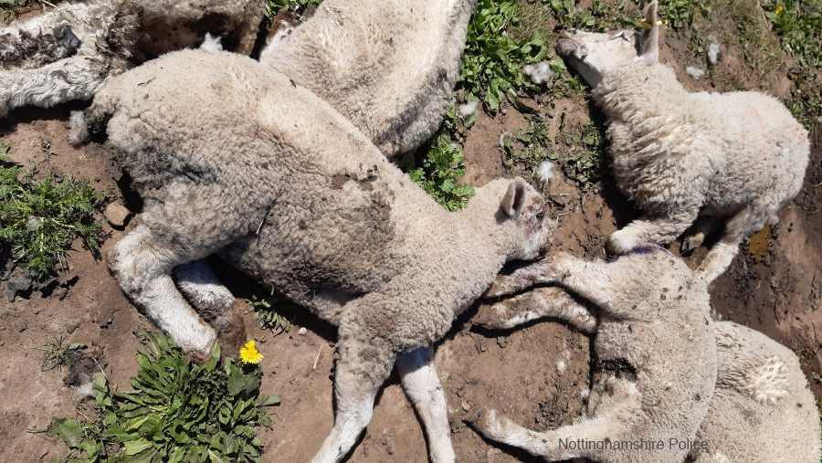 18 lambs 'brutally slaughtered' in deliberate dog attack
